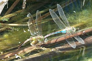 Green darner - Image: Anax junius Laying eggs 2