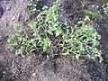 Anchusa arvensis plant full 1 AB.jpg