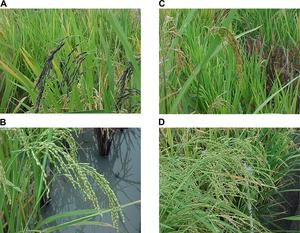 Genomics of domestication - diversity of ancestral rice