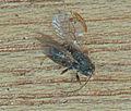 Andricus kollari, galwesp uit knikkergal (2).jpg