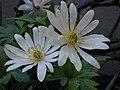 Anemone blanda 02.JPG