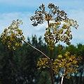 Angelica atropurpurea (29440017125) 1x1.jpg