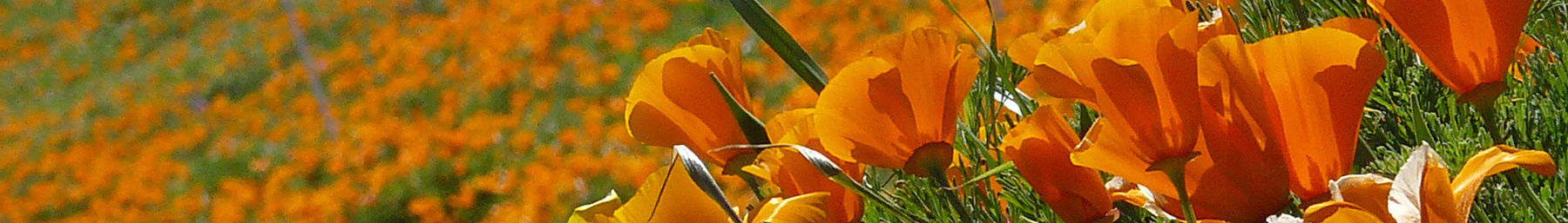 California Poppy Preserve in the Antelope Valley
