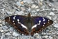Apatura iris Weinsberg 20080618 2.jpg