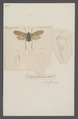 Aphana - Print - Iconographia Zoologica - Special Collections University of Amsterdam - UBAINV0274 042 02 0022.tif