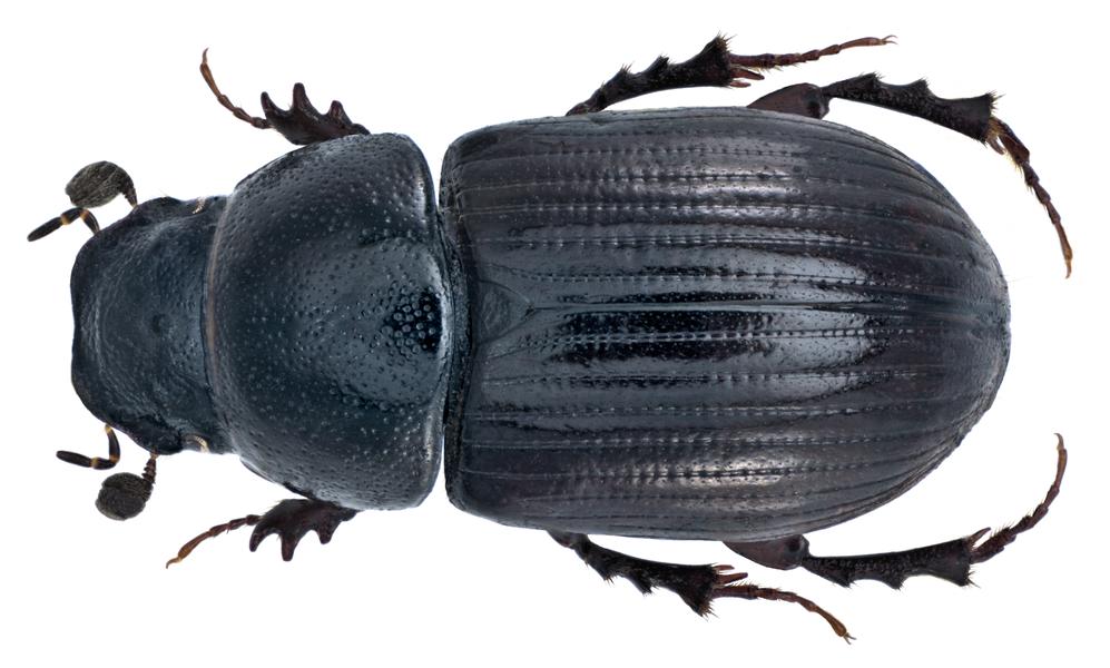 Family: Scarabaeidae Size: 5,9 mm (5,0 to 6,0 mm) Distribution: Europe Ecology: in the feces of deer Location: France, Corsica, Col de Bavella leg.det. U.Schmidt, 28.V.1973 Photo: U.Schmidt, 2014
