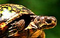 Appalachian Painted Turtle 2 (182647207).jpg