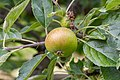 Apple NZ7 0194 (50169561933).jpg