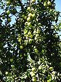 Apple orchards in Kolomenskoye 31.JPG
