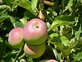 Apples (4223668969).jpg