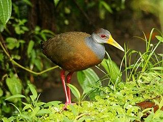 Rufous-naped wood rail species of bird