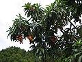 Arbutus canariensis2.jpg