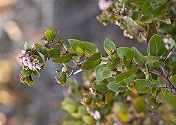 Arctostaphylos osoensis (Oso manzanita) (32615346866).jpg