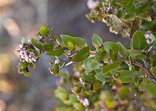 <i>Arctostaphylos osoensis</i> species of plant