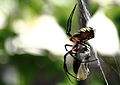 Argiope aurantia side view.JPG