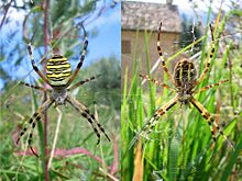 Argiope bruennichi up and down.jpg
