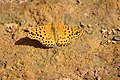 Argynnis hybrida 10.jpg