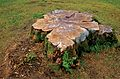 Armadale Castle - tree stump.jpg