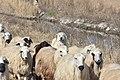 Armenian Gampr dog with sheep.jpg