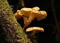 Armillaria novaezelandiae (14139828227).jpg