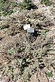 Artemisia californica 'Montara' - Leaning Pine Arboretum - DSC05631.JPG