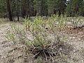 Artemisia rothrockii (7832377116).jpg