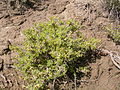 Artemisia spinescens (3765909616).jpg