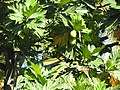 Artocarpus altilis-2-polonnaruwa-Sri Lanka.jpg