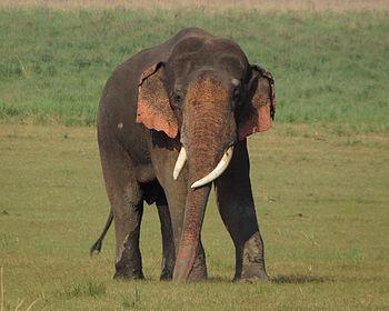 Asiatic Elephant.jpg