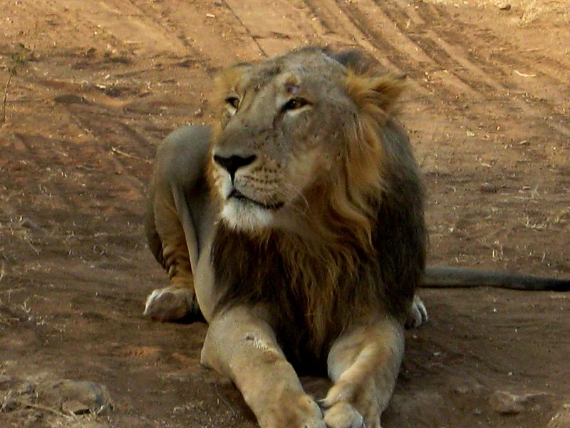 http://upload.wikimedia.org/wikipedia/commons/thumb/d/d6/Asiatic_Lion_Gir_Forest_India.jpg/800px-Asiatic_Lion_Gir_Forest_India.jpg