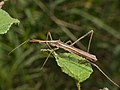 Assassin Bug (Reduviidae)(Id?) (12884085834).jpg