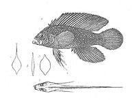 Assiculus punctatus (Discoveries in Australia)