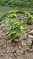 Asteraceae2.jpg