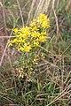 Asterales - Jacobaea vulgaris - 1.jpg