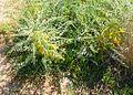 Astragalus pura reservation (12640301203).jpg