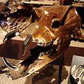 Astrapotherium magnum Skull.jpg