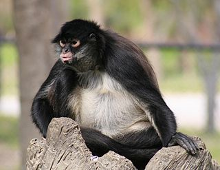 Mexican spider monkey subspecies of mammal