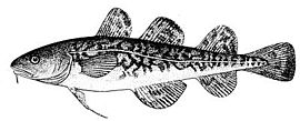 Atlantic tomcod.jpg
