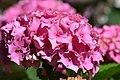 Atlas roslin pl Hortensja ogrodowa 3955 7167.jpg