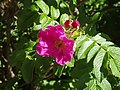 Atlas roslin pl Róża pomarszczona 1164 7793.jpg