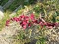 Atriplex hortensis sl13.jpg