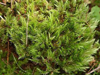 <i>Aulacomnium palustre</i>