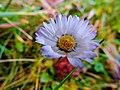 Autumn daisy (22550133523).jpg