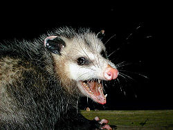 AwesomePossum-AmericanOpossum.jpg