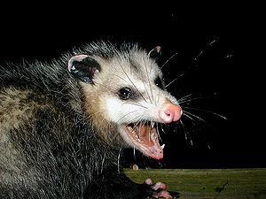 A very large Virginia Opossum baring its sharp...