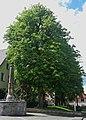 Büren-KastanienKönigstraße20-1-Bubo.JPG