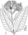 BB-3387 Asclepias purpurascens.png