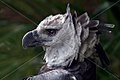 BIRD HARPY EAGLE SURINAM AMAZONE SOUTH-AMERICA (32891899711).jpg