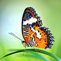 B cool - Malay Lacewing (by).jpg