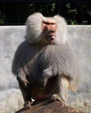 Hamadryas baboon with tongue extended out